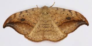 Hooktip moths