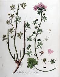 File:Malva moschata — Flora Batava — Volume v10.jpg - Wikipedia