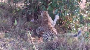 Leopards attack giant python in Kruger National Park - Animals ...