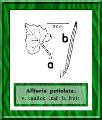 Alliaria petiolata in Flora of Pakistan @ efloras.org