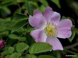 Rosa jundzillii - Jundzills-Rose - astrantias ! Wildrosen, Wildbeeren ...