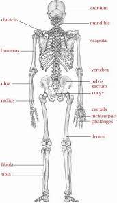 Image result for skeletal bones