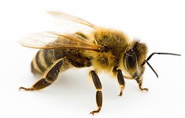 Picadura de abeja (cromosoma A)