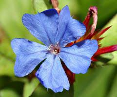 Ceratostigma plumbaginoides Blue leadwood, Blue Plumbago ...