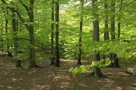 Bildresultat för bokskog