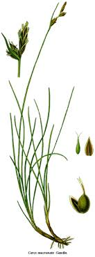 Carex mucronata - Wikispecies