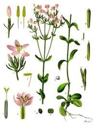 Centaurium erythraea Centaury - Feverwort, European centaury ...