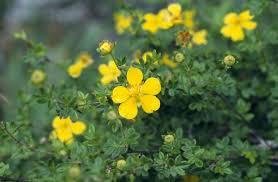 Potentilla fruticosa in Flora of China @ efloras.org