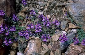 Linaria alpina | alpine toadflax/RHS Gardening
