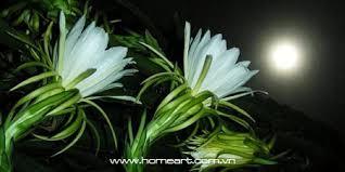 Kết quả hình ảnh cho hoa quỳnh trong đêm