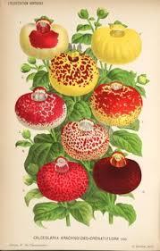 Calceolaria crenatiflora - Wikipedia, la enciclopedia libre