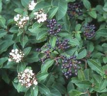 Viburnum tinus | Landscape Plants | Oregon State University