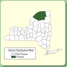 Odontites - Genus Page - NYFA: New York Flora Atlas - NYFA: New ...