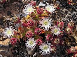 Mesembryanthemum crystallinum - Wikipedia