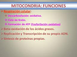 Resultat d'imatges de mitocondrias funcion