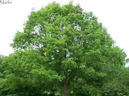 Image result for Chestnut Oak Tree