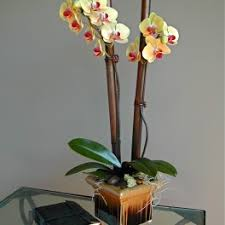 day orchid decor: view details next day delivery  singapore gorgeous gold double stem phalaenopsis orchid with decor bamboo sticks in a brown ceramic container middot oahu