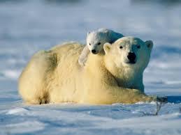 Image result for polar bear pics
