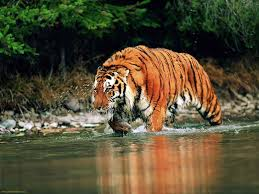 short essay on save tigers words save tigers