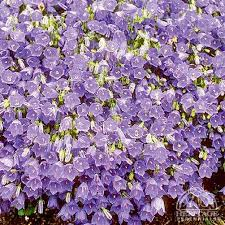 Plant Profile for Campanula cochleariifolia - Fairy Thimble Bellflower ...