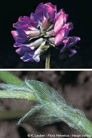 Oxytropis lapponica