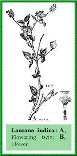 Verbenaceae in Flora of Pakistan @ efloras.org