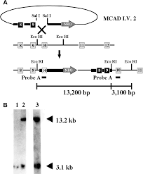medium chain acyl coa dehydrogenase deficiency in gene targeted mice png