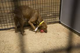 dog fighting essaydetailed discussion of dog fighting   animal legal  amp  historical center