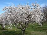 Images & Illustrations of almond tree