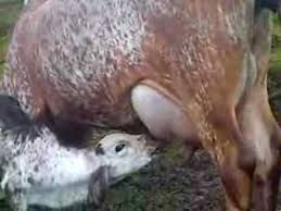 Resultado de imagen para foto de una vaca parida