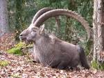 Images & Illustrations of ibex