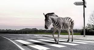 Image result for zebra crossing