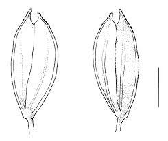 Phleum subulatum | Manual of the Alien Plants of Belgium