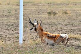 rants from the hill don t fence me in high country news a pronghorn scoots under a fence