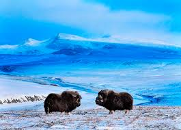 chukotka autonomous okrug voices from russia 00 vrangel island rf 02 musk oxen 07 12 13