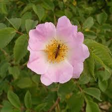 ROSA DUMALIS SEEDS (Glaucus Dog Rose. Rosa dumalis ...