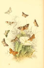 images about metamorphosis butterfly wings colored plate moths 1860