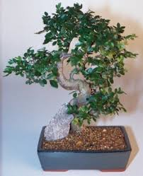 chinese elm bonsai tree extra large curved trunk style ulmus parvifolia chinese elm bonsai tree