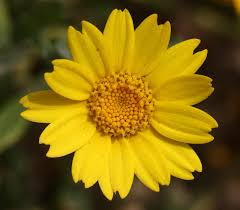 Chrysanthemum segetum – Wikipédia, a enciclopédia livre