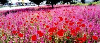 תוצאת תמונה עבור פרחי בר