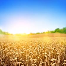 Image result for pictures of growing wheat
