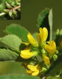 Melilotus messanensis (Southern Melilot) : MaltaWildPlants.com ...