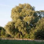 crack willow