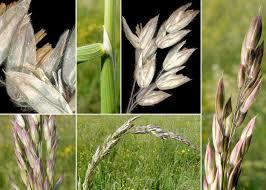 Holcus lanatus L. subsp. lanatus - Sistema informativo sulla flora del ...