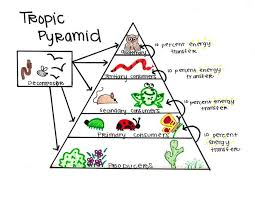 best images of energy pyramid diagram   energy pyramid ecosystem    tropical rainforest trophic pyramid
