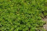 FLOREALPES : Nananthea perpusilla / Nananthée de Corse ...