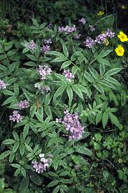 Cardamine in Flora of China @ efloras.org