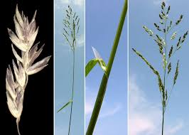 Poa sylvicola Guss. - Sistema informativo sulla flora vascolare dei ...