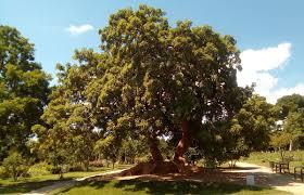 Phytolacca dioica - Wikipedia, la enciclopedia libre