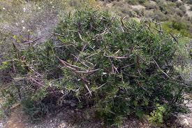 Periploca angustifolia - Wikipedia, la enciclopedia libre
